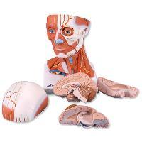 Mô hìng giải phẫu đầu và hệ thống cơ cổ 5 phần